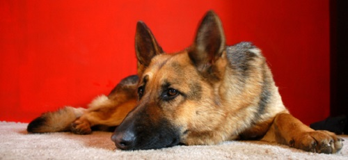 Pet carpet damage repair Mt Vernon